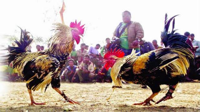 Agen Taruhan Sabung Ayam Online Terpercaya