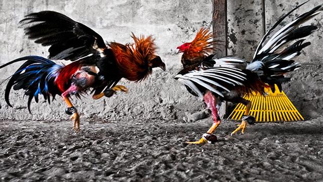 Situs Judi Sabung Ayam Terbaik