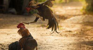 Bertaruh Sabung Ayam Bangkok