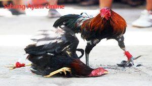 APK Sabung Ayam Online Terbaik